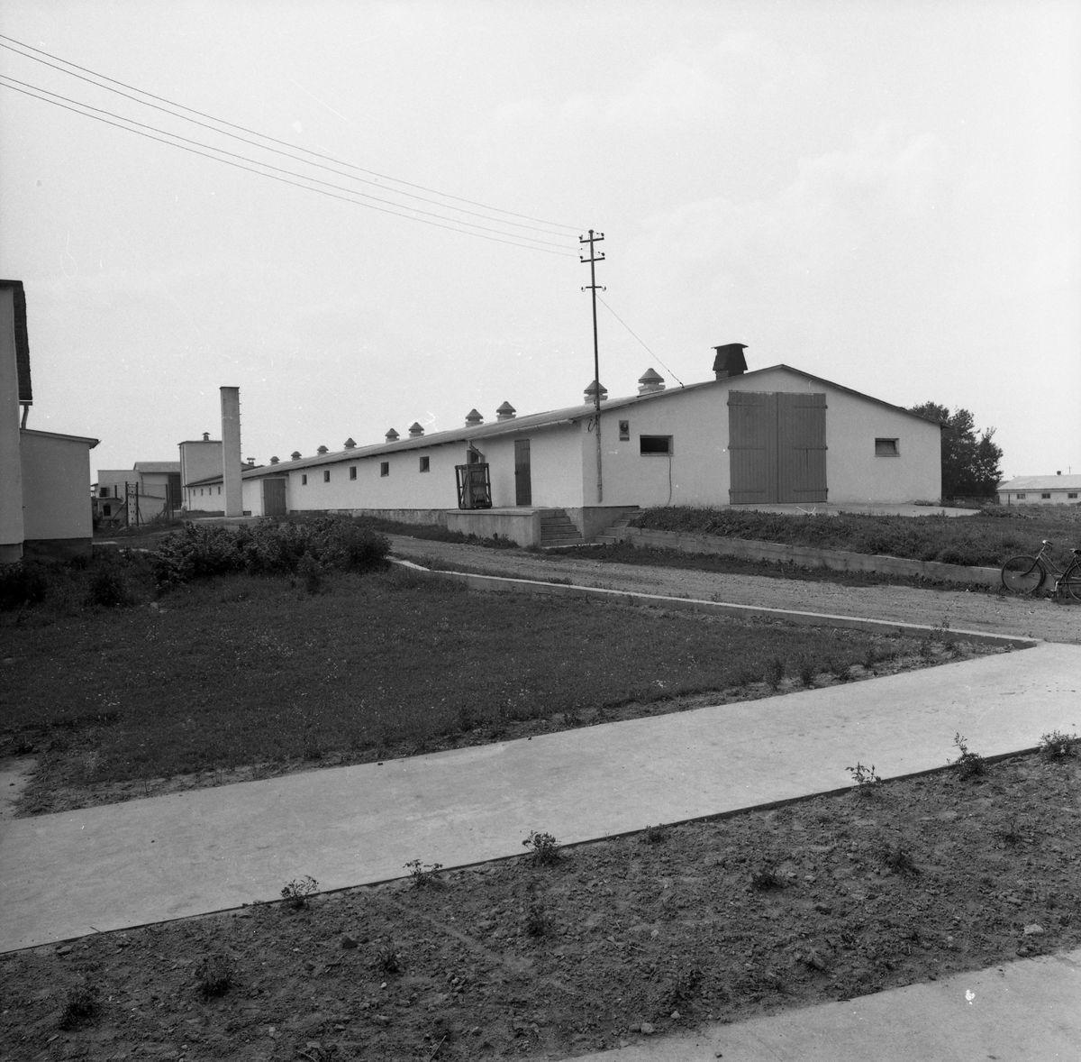 Kurniki w Antonowie, 1979 r.