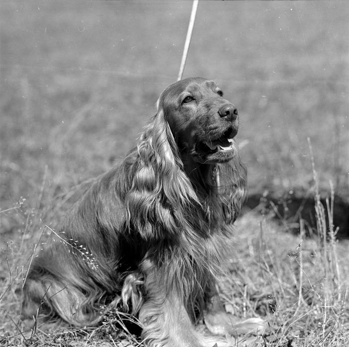 Wystawa psów [9]